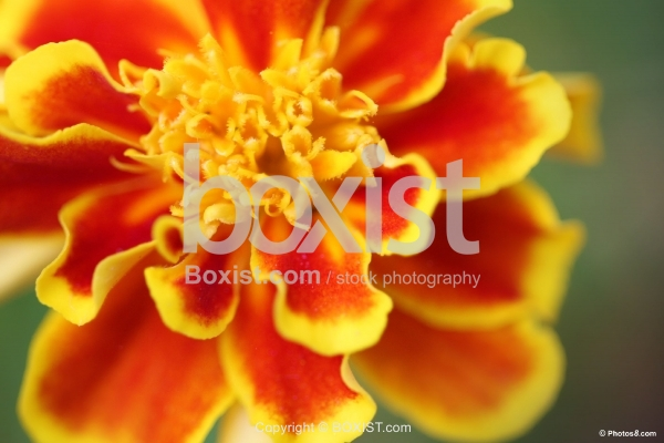 French Mrigold Flower