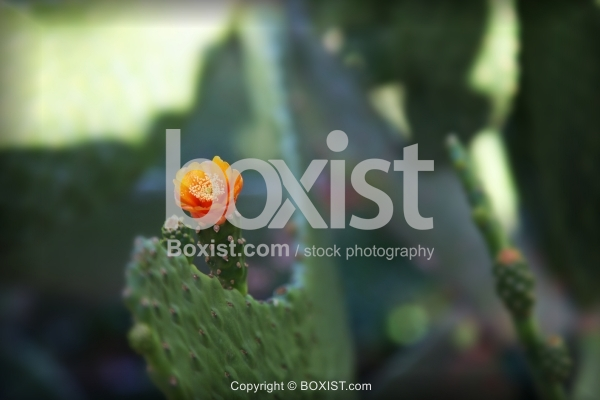 Budding Desert Cactus with Orange Flower