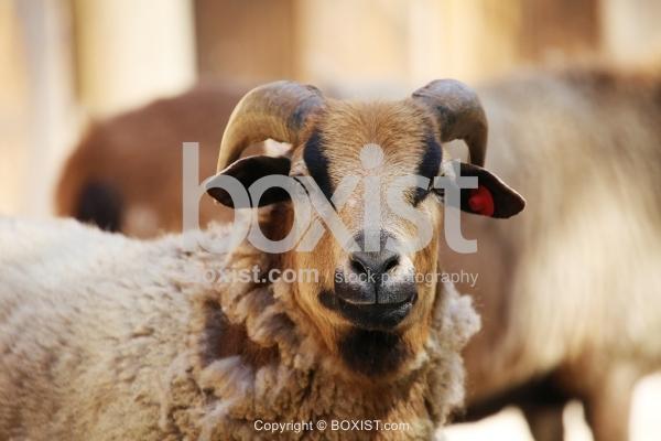 Brown Sheep Portrait