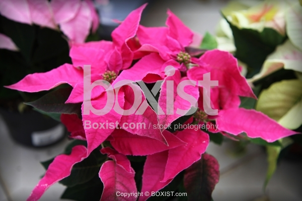 Tropical Plant with Pink Leaves
