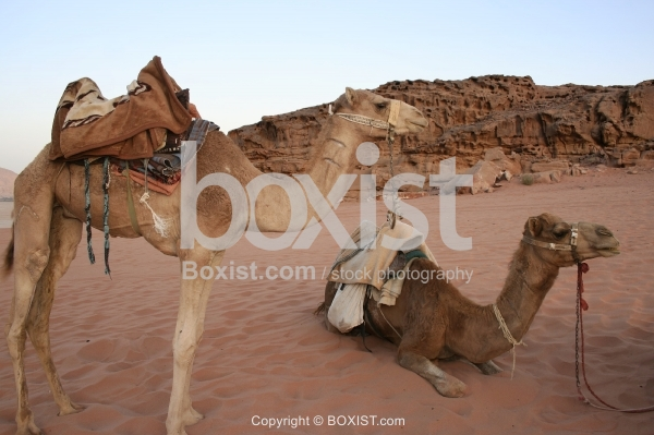Two Camels Resting in the Desert