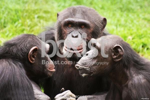 Three Chimpanzees Meeting