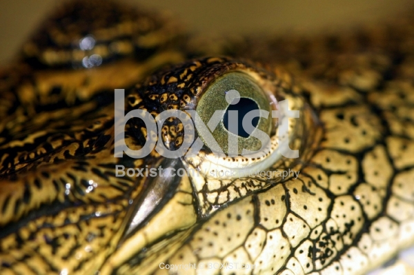 Nile Crocodile Eye
