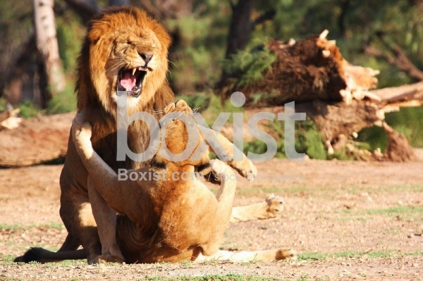 Lions Fighting as a Part of Mating Ritual