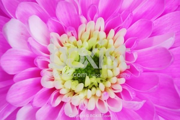 Center of Pink Flower