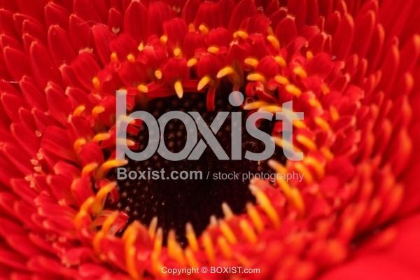 Macro Inside Red Gerbera Flower
