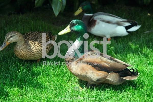 Mallard Ducks on Green Grass