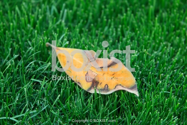 Fallen Leaf On Green Grass