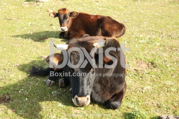 Bull Lying Down On Green Grass