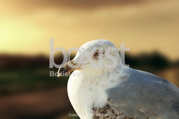 Seagull Sitting Against Sunset