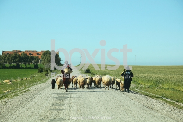 Shepherd Women Leads a Flock of Sheep