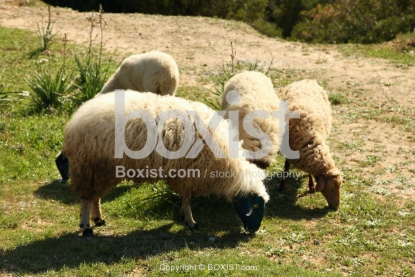 Fluffy Sheep Grazing