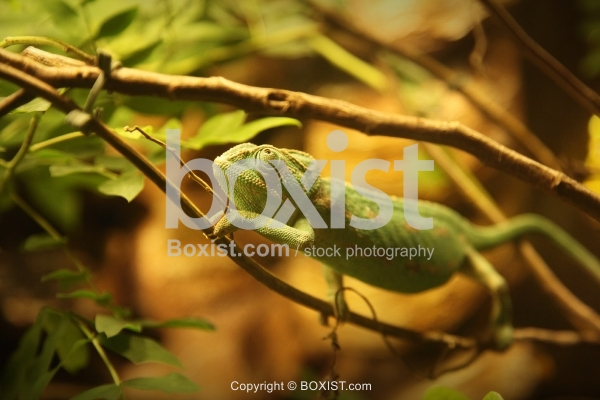 Common Chameleon Walking On Branch