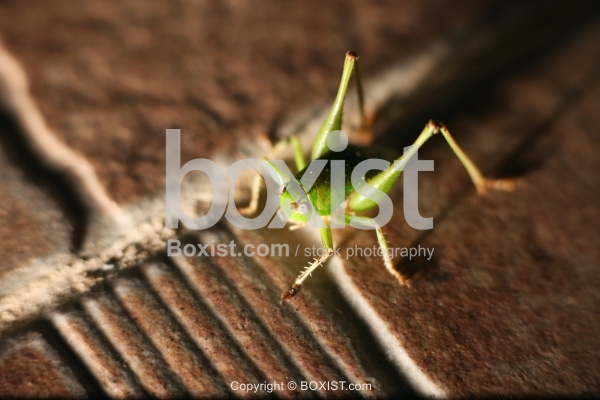 Green Grasshopper On Tile Stone