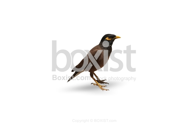 Myna Bird On White Background