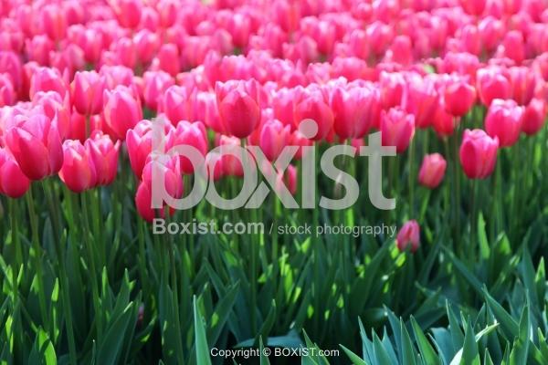 Pink Tulips Plants