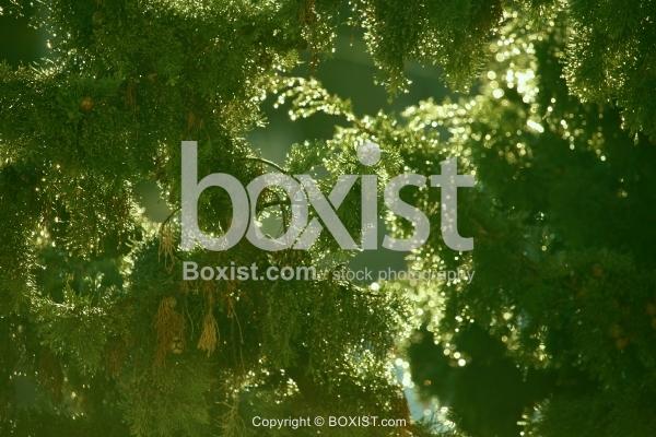 Wet Pine Branch