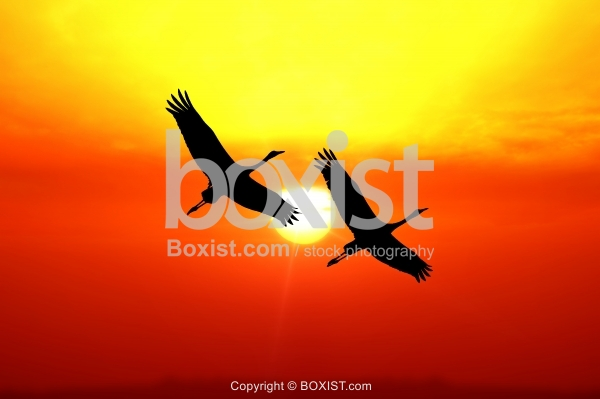 Silhouette Of Flying Cranes