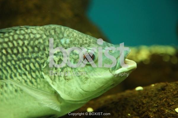 Tilapia Zillii Fish