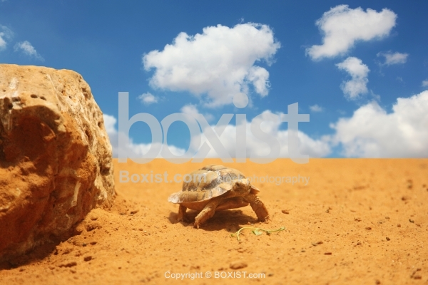 Turtle Walking On Desert Sand