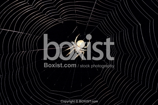 Spider On Web At Night