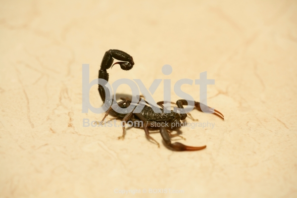 Scorpion on the Floor