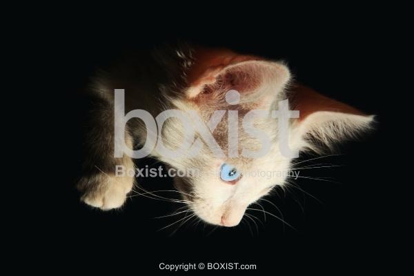Kitten Looking Down