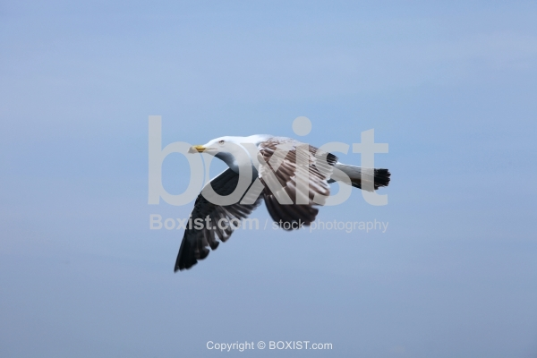 Seagull In Flight With Wings