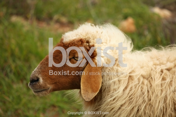 White Sheep With Brown Head Side Portrait