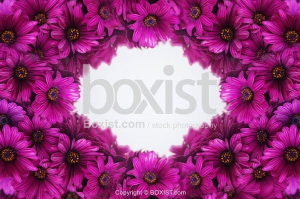 Osteospermum Purple Flowers Background