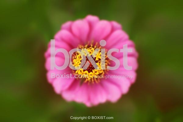 Macro Closeup of Zinnia Elegans Flower