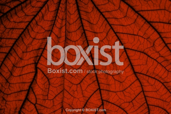 Red Leaf With Veins Texture