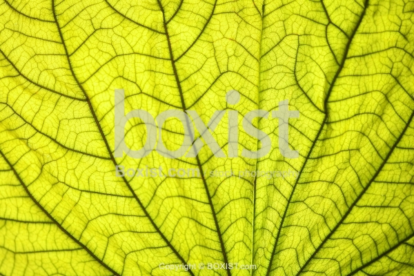 Macro of Green Leaf With Veins Texture