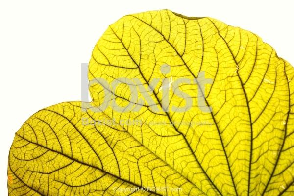 Macro Of Heart Shaped Green Leaf