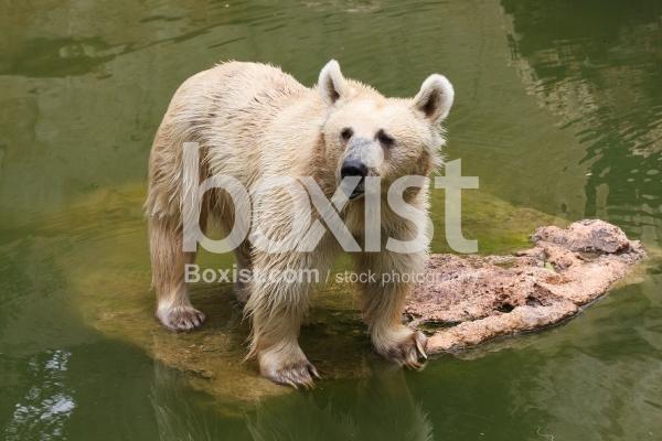 Yellow Bear in Water