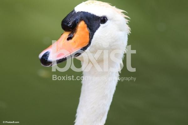 Mute Swan Face