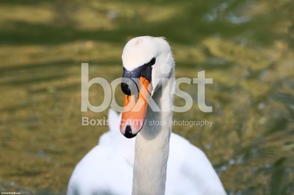 Mute Swan Portrait