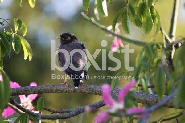 Mynah Bird Perched on a Tree