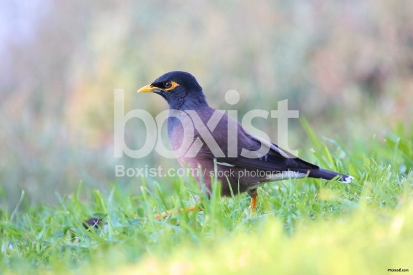Mynah Bird Walking on Grass