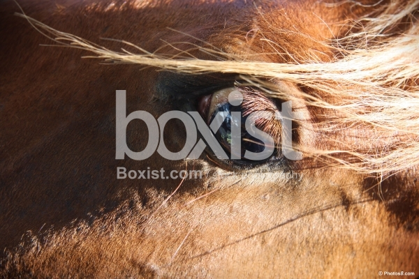 Horse Brown Eye
