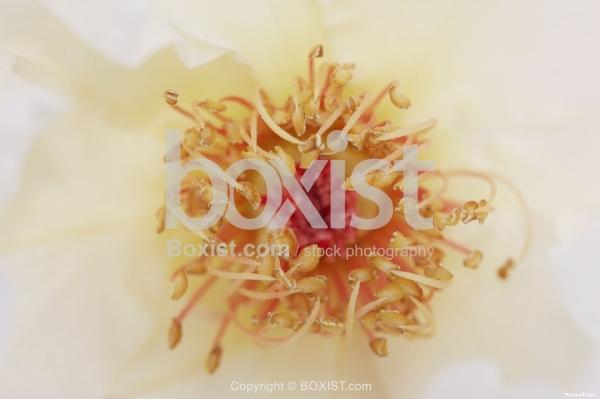 Macro of Flower Stamens